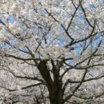 柏市あけぼの山公園の桜の開花時期と見頃、桜まつりの開催日は?