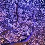 夜桜デートにぴったりな東京の3名所、六本木、ミッドタウン、アークヒルズ