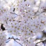 我孫子市手賀沼の桜の見頃 周辺遊歩道は名所、夜桜もお知らせ