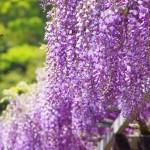 茨城の藤の名所といえばココ!県の天然記念物と見頃 周辺の駐車場情報も