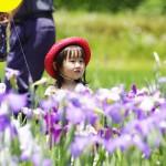佐原あやめ祭りと潮来あやめ祭りの開花情報や週末の混雑具合、実は近い2会場のイベント情報まとめ