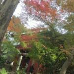 本土寺の紅葉 2016年11月20日の色付き状況と混雑状況