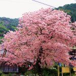 河津桜まつりへ電車でのアクセスと最寄り駅、踊り子号の時刻表は?