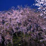 六義園のしだれ桜 見頃の時期とライトアップ時間の混雑のすごさについて